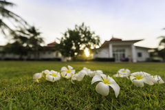 Tropisk brunnsortblomma för Plumeria i trädgårds- by Arkivfoto
