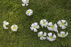 Tropisk brunnsortblomma för Plumeria i trädgårds- by Royaltyfri Bild