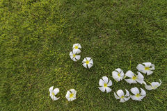 Tropisk brunnsortblomma för Plumeria i trädgårds- by Arkivfoton