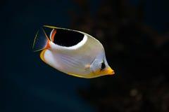 tropisk butterflyfishfisksaddleback Arkivbilder
