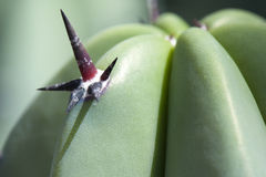 Tropisk catusväxt Royaltyfria Bilder
