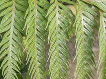 Tropisk closeup för bladgräsplanormbunke Arkivfoton