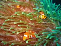 tropisk clownfamiljfisk Arkivbilder