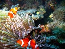 tropisk clownfamiljfisk arkivbild