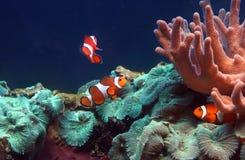 tropisk clownfishfisk Arkivfoto