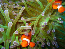 tropisk clownfisk Royaltyfri Bild