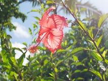 Tropisk den strandhimmel och seahibiscusen blommar tropisk skogbakgrund arkivbilder