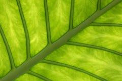 Tropisk detalj för blad för elefantöra Arkivfoton