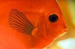 tropisk diskusfisk Royaltyfri Foto