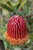 tropisk exotisk blomma Royaltyfri Fotografi