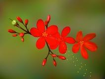 tropisk exotisk blomma Royaltyfri Foto