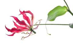 tropisk exotisk blomma Arkivbilder