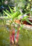 Tropisk exotisk heliconiaväxt Fotografering för Bildbyråer