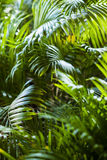 Tropisk exotisk palmbladbakgrund Arkivfoto