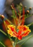 tropisk färgrik blomma Fotografering för Bildbyråer