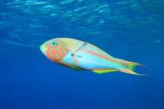 tropisk färgrik fisk Arkivbild
