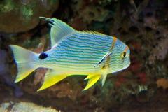 tropisk färgrik fisk Royaltyfri Fotografi