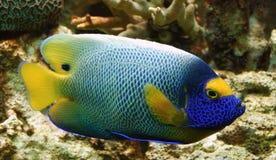 tropisk färgrik fisk Royaltyfria Foton