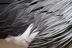 Tropisk fågel Crane Feathers för abstrakt bakgrund Royaltyfri Foto