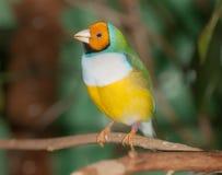 Tropisk fågelcloseup Royaltyfria Foton