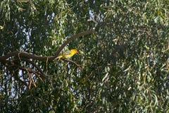 tropisk fågelkonung Arkivbild