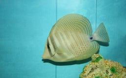tropisk fisk Royaltyfria Bilder