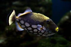 tropisk fisk 31 Arkivbilder