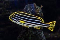 tropisk fisk 40 Royaltyfria Foton