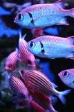 tropisk fisk Arkivfoto