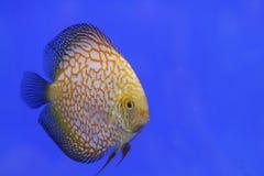 Tropisk fisk för diskus Royaltyfria Bilder