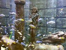 Tropisk fisk i akvarium med den Egypten statyn Arkivfoton