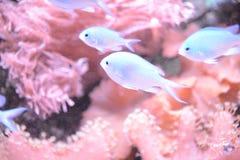 Tropisk fisk i havet Royaltyfria Foton