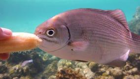 Tropisk fisk i havet som äter bananen Royaltyfri Bild