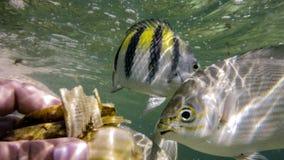 Tropisk fisk i havet som äter bananen Royaltyfri Foto