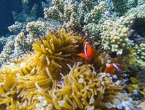 Tropisk fisk i korallrev Orange clownfish i gul actinia royaltyfri fotografi