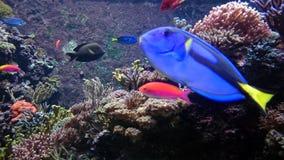 Tropisk fisk med anemoner arkivbilder