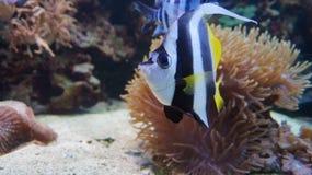 tropisk fisk Morisk förebild koraller Morisk förebild i havet och havet Marin- invånare för teckningsfisk för akvarium svart linj Arkivbild