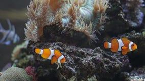 Tropisk fisk nära korallreven lager videofilmer