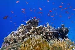 Tropisk fisk och hårda koraller i Röda havet Arkivbilder
