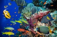 Tropisk fisk och korallrev Royaltyfri Foto