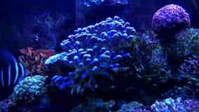 Tropisk fisk på akvariet för havsvatten lager videofilmer