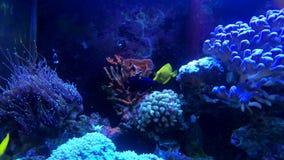 Tropisk fisk på akvariet för havsvatten stock video