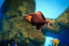 Tropisk fisk på en korallrev Arkivbilder
