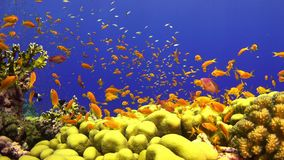 Tropisk fisk på vibrerande Coral Reef lager videofilmer