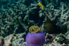Tropisk fisk som jagar nära härliga koraller i det indiska havet på Maldiverna Royaltyfri Fotografi