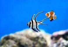 tropisk fiskflotta Arkivbild
