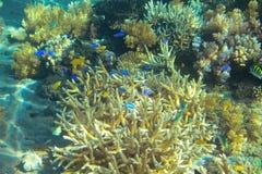 Tropisk fiskkoloni i korall Djurt undervattens- foto för tropisk kust Royaltyfria Bilder