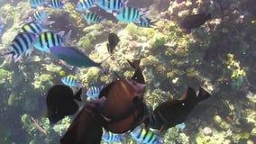 Tropisk fiskmatning på vibrerande Coral Reef lager videofilmer