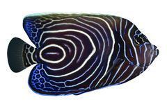tropisk fiskpomacanthusrhom Arkivfoto