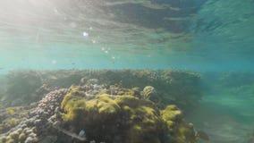 Tropisk fisksimning nära korallreven i turkoshavet på solskenbakgrund Undervattens- siktskorallrev och arkivfilmer